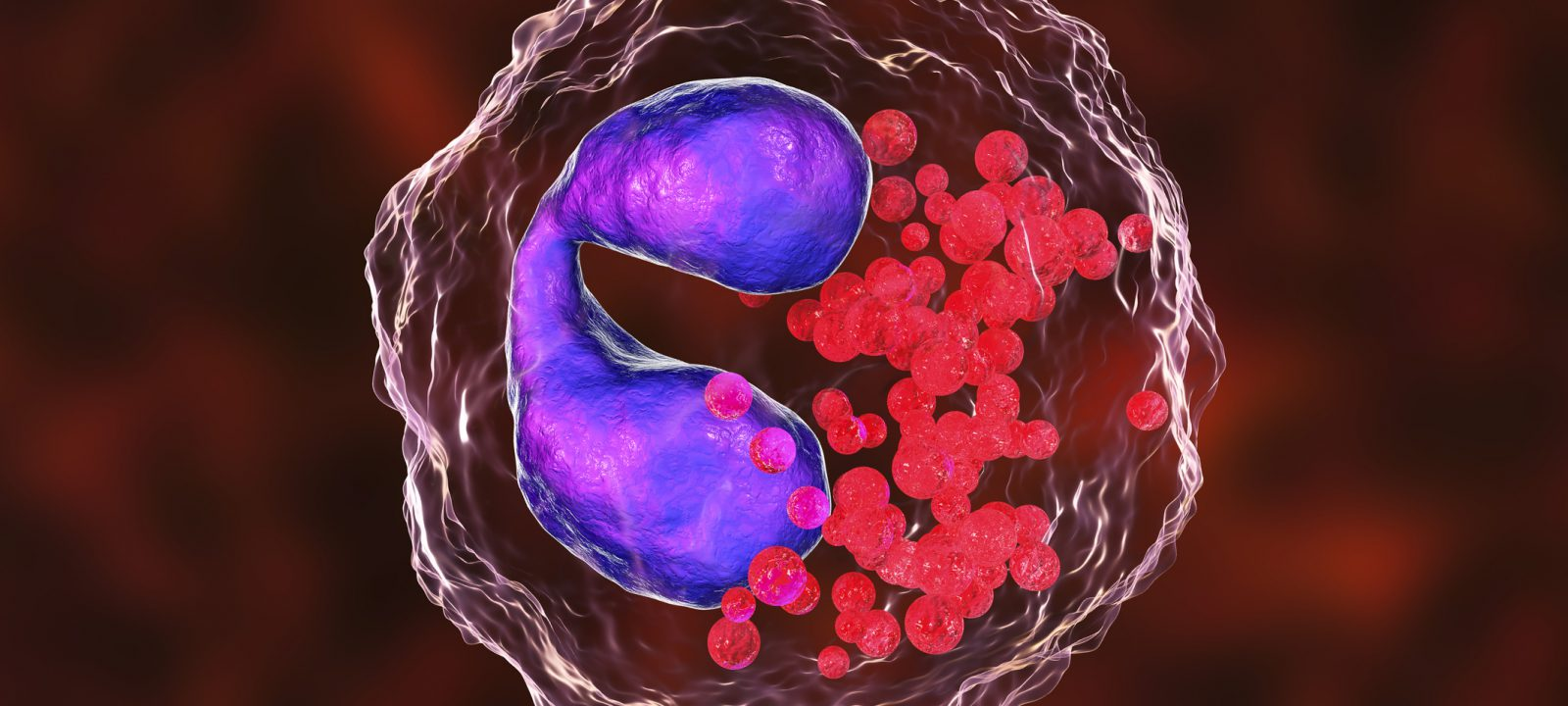 Eosinophil, a white blood cell, 3D illustration. Eosinophils are granulocytes taking part in allergy and asthma, protection against multicellular parasites
